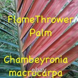 FLAMETHROWER PALM Chambeyronia macrocarpa Red Leaf Palm BIG 2-3ft Potted PLANT